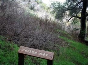 poisonoak8