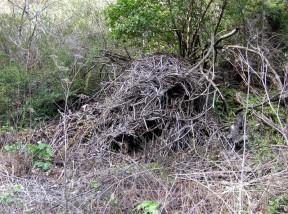 woodrat2