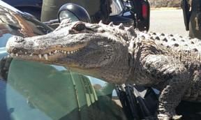 alligator060613