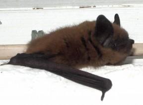 bat_joanoxman