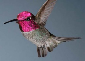 Anna's hummingbird - the local variety.