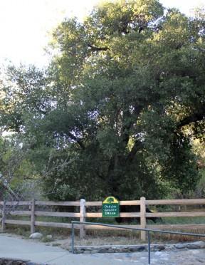 Oak of the Golden Dream | Photos: Placerita Canyon Nature Center Associates