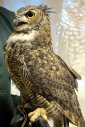 The late Owl Junior, aka OJ. Photo: Placerita Canyon Nature Center Associates.
