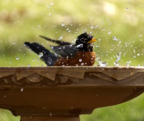 robin splashing