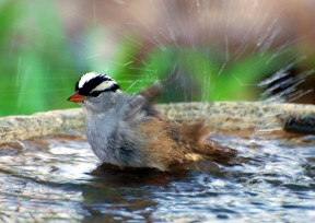 white-crowned_sparrow_bathing-55135525