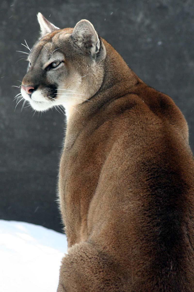 Cougar7207