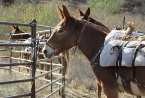 mules110413f