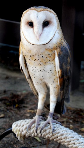Scooter, the Vasquez Rocks barn owl | Photos by Sarah Brewer Thompson