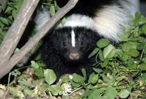 skunk4