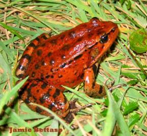 redleggedfrog-Jamie-Bettaso-525