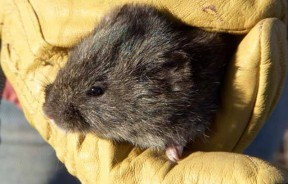 Photos: Ad Hoc Amargosa Vole Recovery Team