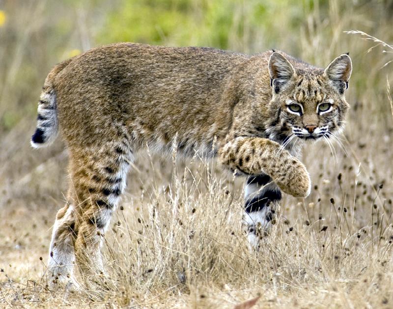bobcat - photo #31