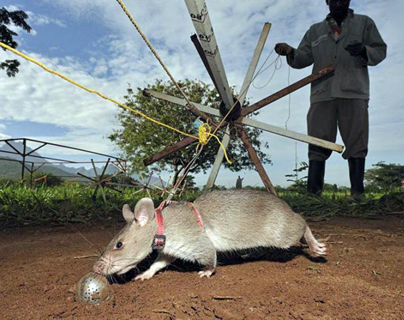 Rats11