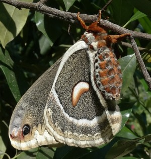 Fig. 3: Ceanothus silk moth. The body appears to be covered in fur, and these longer hairs serve a similar purpose to fur: They help the moth retain body heat.