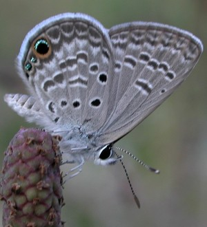 "Figure 6: There is a family of ""blues"" in the United States – small butterflies where the upper surface of the wings is blue, but some have eye spots on the hind wing with flecks of iridescent blue. This is a Ceranus blue, and while it can be found in Southern California, this one was photographed in Florida."