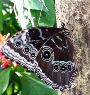 Fig. 8: Helena morpho with wings closed hide its iridescent blue surface. These butterflies usually fly in tropical forests, and the light color is similar to sunlight filtering through the leaves. The eye spots also mimic the eyes of larger animals and will frighten potential predators.