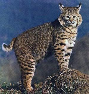 bobcats03
