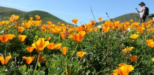 poppies_nps