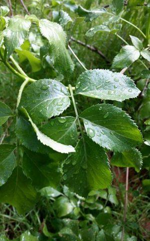 Elderberry leaves | Photo: Sara Indiana Jane