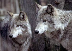 wolves-copy
