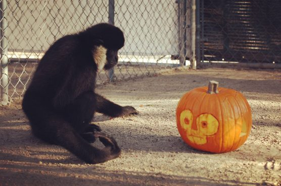 Gibbons Halloween