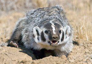 badger01