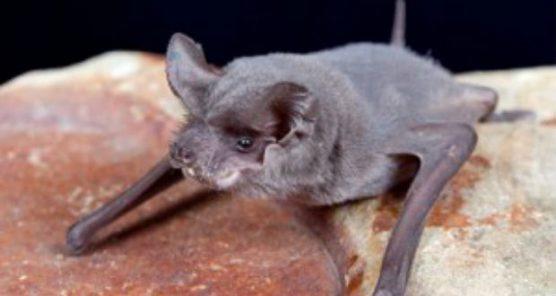 rabid bat
