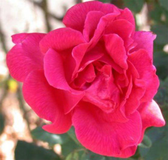CSUN Mr. Lincoln rose