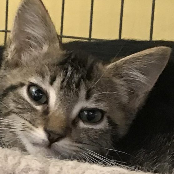 Baxter, a kitten stolen from Shelter Hope Pet Shop Santa Clarita on Saturday, Dec. 9, 2017.
