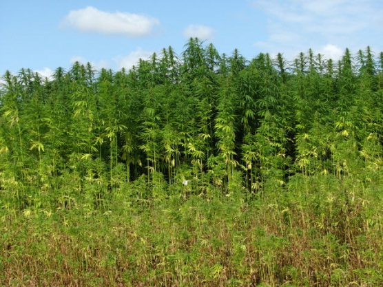 A field of industrial hemp. | Photo: Evelyn Simak/WMC 2.0