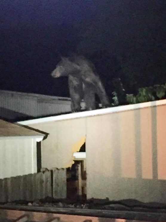 A bear surveys the scene from the roof of a mobile home in Gorman.