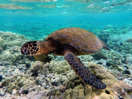 Green turtle swimming over coral reefs in Kona, Hawai'i. | Photo: Brocken Inaglory/Creative Commons Attribution-Share Alike 3.0 Unported license.