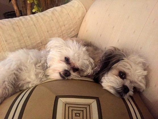 AV and Simi, Scott and Vanessa Wilk's dogs.