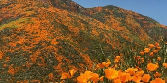 """Lake Elsinore, California is experiencing a """"Super Bloom"""" of California poppies after an unusually wet winter helped the state make it to the other side of a years-long drought. 