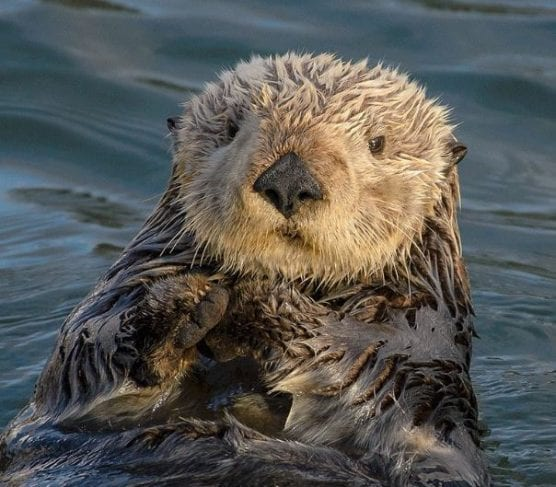 A close-up of a sea otter, taken in Morro Bay, California. | Photo via Wikimedia Commons.