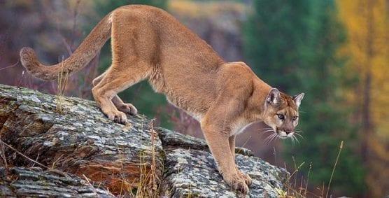 mountain lion US Fish & Wildlife