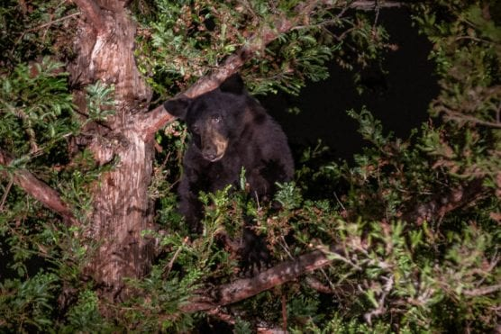 A black bear seeks refuge in a tree on the 26000 block of Laguna Court in Valencia Tuesday night. | Photo: Cory Rubin/The Signal.
