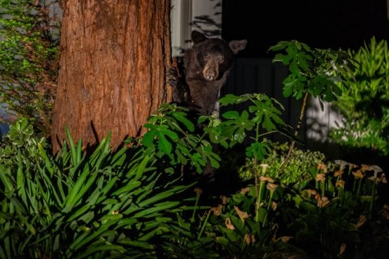 A black bear peeks out from behind a tree on the 26000 block of Laguna Court in Valencia Tuesday night. | Photo: Cory Rubin/The Signal.