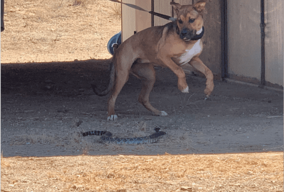 A dog is taught to avoid a rattlesnake whose mouth had been muzzled during the seminar on July 13, 2019. | Photo: Caleb Lunetta/The Signal.