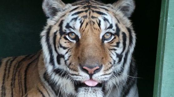 tiger -- Bengal tiger. File photo courtesy of Wildlife Waystation website.