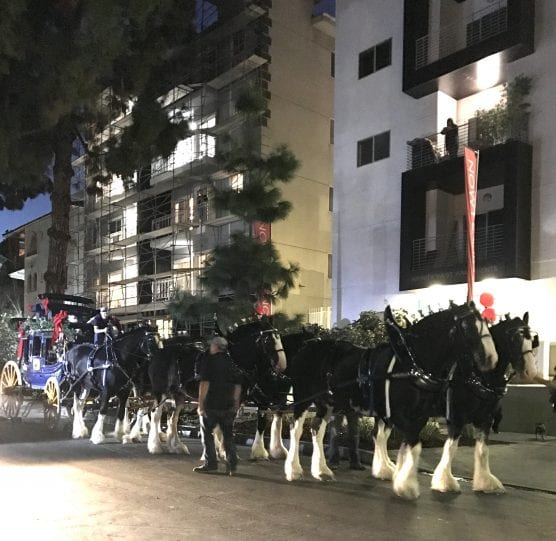 The Express Clydesdale team in the 2017 Hollywood Christmas Parade. | Courtesy photo.