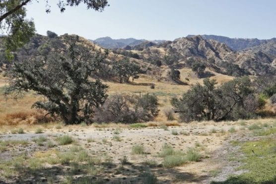 Oak trees on a currently undeveloped piece of land off of the Old Road and Sagecrest Circle would be removed to make way for a proposed senior condo complex development. | Photo: Katharine Lotze / The Signal.