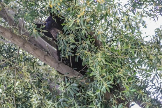 bear arm -- Bear in a tree during a rainy day in a Valencia neighborhood. | Photo: Lorena Mejia / The Signal.