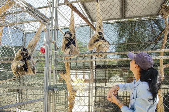 gibbon conservation center leaving SCV
