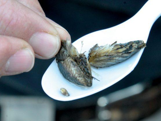 Non-native quagga mussels reach Castaic Lake